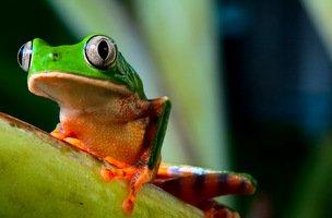 Amazon Frog-001
