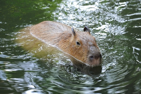 Capibara in river