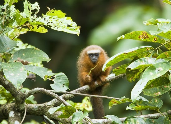 Dusky Titi Monkey in the Jungle