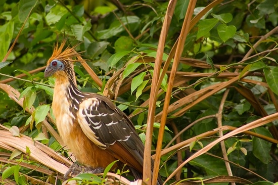 Hoatzin in the Jungle