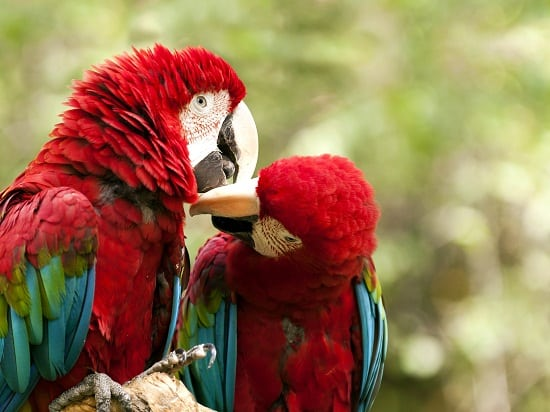 Red and Green Macaw kissing