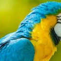 Yellow and Blue colored Macaw