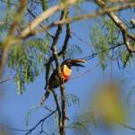 Chestnut-eared-Aracari - Yarinacocha Lagoon