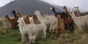 Alpaca vs Llama - Alpaca heard grazzing on grass