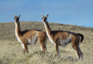 Alpaca vs Llama - Guanacos staring from a distance