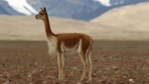 Alpaca vs Llama - Side view of a vicuna in the andes plateaus