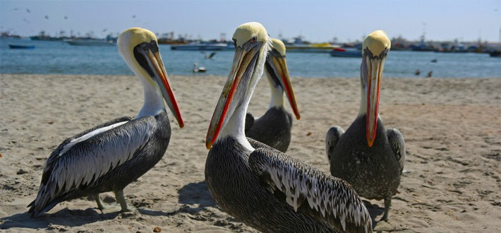 Pelicans on the beaches of Paracas Peru on a sunny day