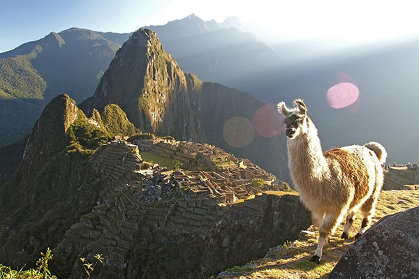 llama at machu picchu watching the sun rise