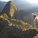 llama at machu picchu watching the sun rise